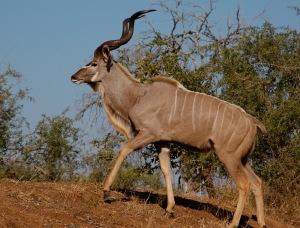 Male_greater_kudu